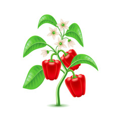 Growing pepper plant isolated on white vector
