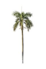 Tree (Betel palm) isolated on white background