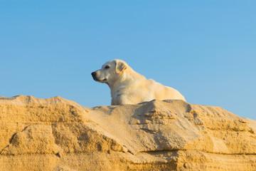 Shetland sheepdog on the beach