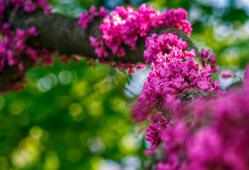 Judas tree blossom in springtime