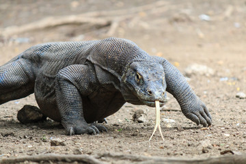 Large Komodo Dragon on Rinca island