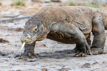 Large Komodo Dragon on Rinca island