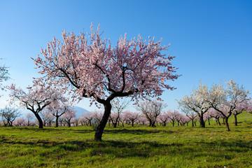 Field with almond blossoms in Almeria, Spain