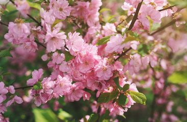 Blooming tree with pink flowers in spring. Freshness of spring
