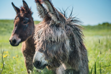 Two cute donkeys in summer with blue sky