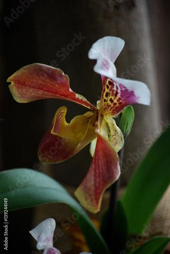 Orchid e sabot de v nus rouge et blanche zdj - Orchidee sabot de venus ...