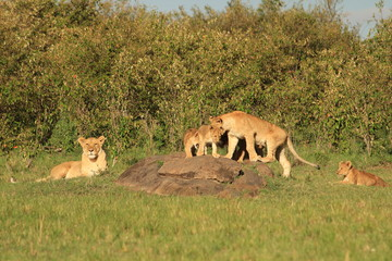 Lion family playing in Kenya