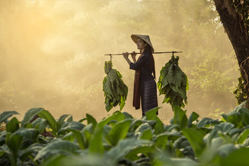Laos woman  tobacco growers