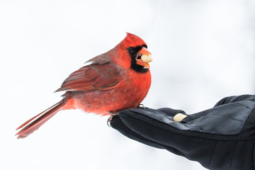 Northern Cardinal - Cardinalis cardinalis. A bird in the hand