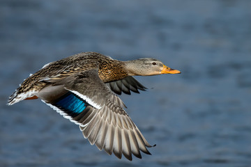 Mallard - Anas platyrhynchos, closeup of a female flying over a river.