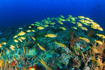 Bluestriped Snapper on a reef