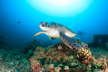 Aluminium Prints Under water Green Turtle swimming on a reef