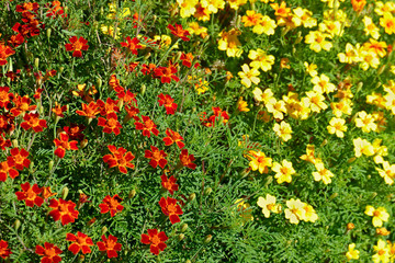 Wall Mural - Bright colorful flowers marigolds. Floral background.