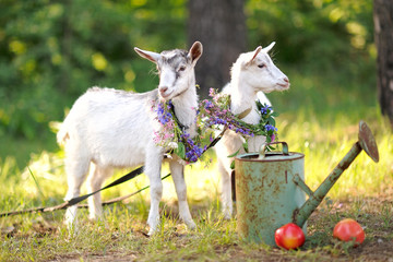 Portrait of two beautiful young goats in nature