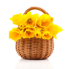 bouquet of narcissus flowers in a basket, on a white background