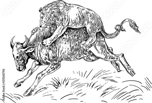 """lion drinking water coloring pages   """"Lion Attacking Buffalo sketch"""" Stock image and royalty ..."""