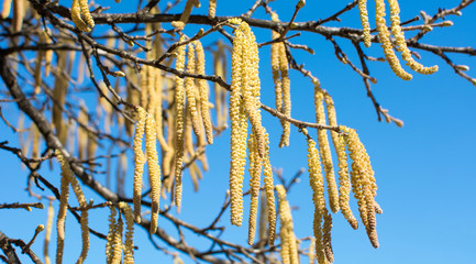 Hazelnut catkins against blue sky