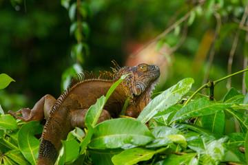 Iguana Leguan