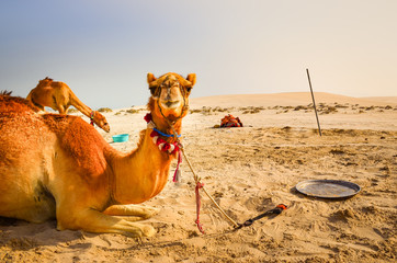 Funny camel lying in the desert looking into the camera