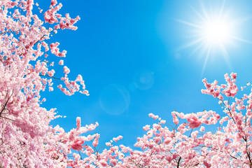 Wall Mural - Kirschblüte im Frühling
