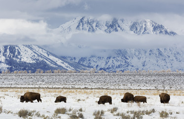 Bison, Winter, Grand Tetons National Park
