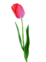 Tulip pink isolated on white background vertical composition