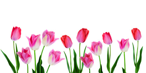 Wide spring flowers border pink tulips with leaves in a row isolated on white background copy space
