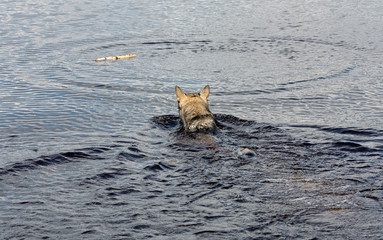 Dog swims for a stick thrown her master - Russia