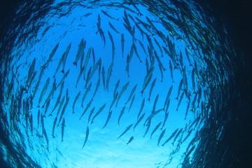 Barracuda fish underwater in ocean