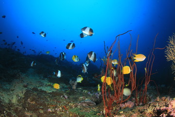 Butterflyfish fish coral reef underwater