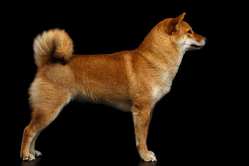 Cute pedigreed Red Shiba inu Breed Dog Standing on Isolated Black Background, Side view Fotobehang
