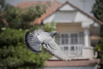 pigeon bird flying mid air ,for freedom , media and press symbol