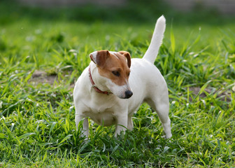 Jack Russell Terrier stand in grass summer