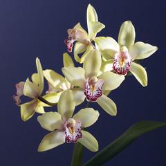 Cymbidium or Boat orchid flowers, Cornwall, England, UK.