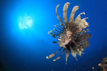 Lionfish fish in ocean