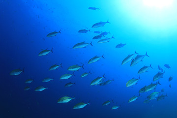 School of Trevally fish in blue water