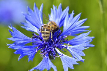 Bee collects nectar on the cornflower in the field.