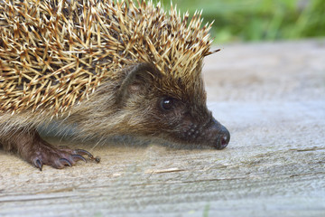 West european hedgehog (Erinaceus europaeus) in the garden