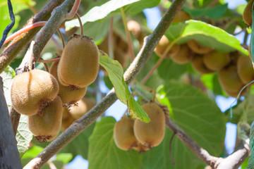 fresh healthy fruit kiwi summer day