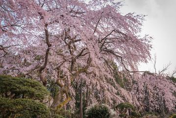 Large Weeping Cherry Tree in spring,Japan