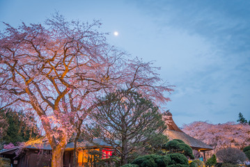Large Weeping Cherry Tree in spring,Japan