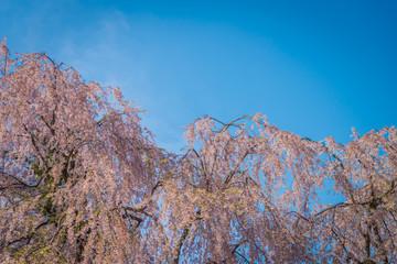Cherry blossoms in spring at Hirosaki Castle,Aomori Prefecture,Japan