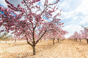 Spring blossom orchard. Beautiful nature scene  blooming tree .
