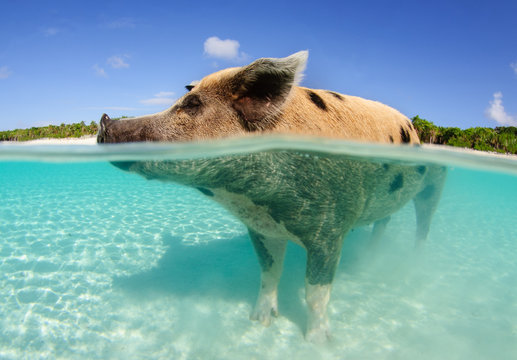 Over-under of big mama pig standing in the water at Big Majors Cay, Bahamas