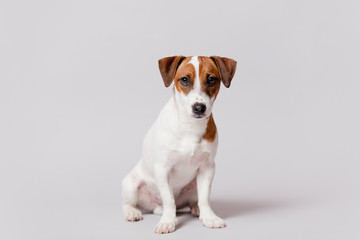 cute jack russel terrier sitting in front of wonderful white background