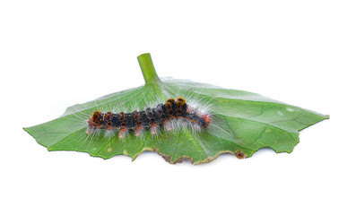 Caterpillar with green leaf on a white background