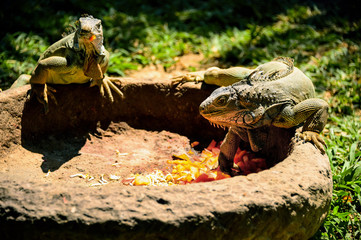 two lizard eat vegetables from the trough in summer Sunny day