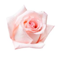Rose flower isolated on white