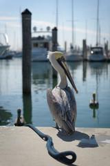 Key Biscayne Pelican