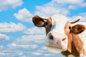 Wall Mural - Brown cow (focus on the nose)  against blue sky background